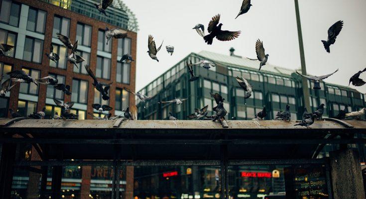 pigeons-1209054_960_720-735×400